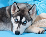 Blue Eyes Husky...