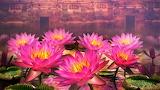#Lotus Flowers