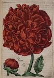 Cabinet des fleurs de jean Franeau 11615 (5)
