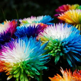 ^ Rainbow Mums