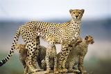 Cheetahs, Africa