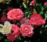 Kwiaty-foto-K.S.-Altro