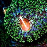 Don't Come Any Closer, Marc Horing, Orange Anemonefish Sipadan I