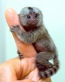Baby Pigmy Marmoset