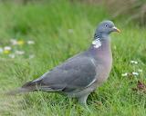 Pigeons-8