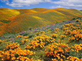 Flowers in Antelope Valley California USA