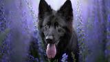 Violet-flowers-german-shepherd