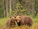 bear family-we are the master of the forest