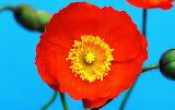 Poppies @ wallpapercave.com...