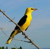 golden oriole (oriolus oriolus) bird