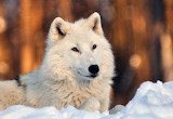 Arctic Wolf...