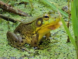 Green frog Ferson Creek Fen