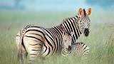 Zebra Mum and Foal