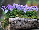 Violas in a log