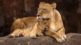 Lion (2)