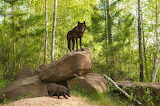 Forests Stones Wolves Two Animals