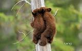 American Black Bear cubs in Jasper National Park. Alberta. Canad