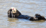 Sea Otter Rolling Over - © 2019 Cawatcher