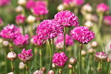Pink-flowers-spring