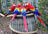 Macaws feeding