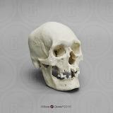 Human Male Polynesian Skull