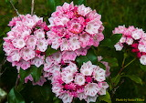 ^ Mountain Laurel