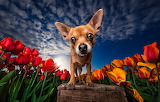Sky, flowers, bench, dog, tulips, puppy, Chihuahua, tulip field