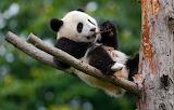 Nature, tree, bear, Panda, branch