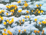 Желтые первоцветы