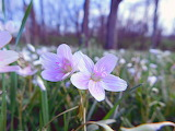 Wildflower Spring Beauty 2017
