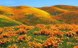 Poppy fields in California