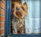 Yorkie at the Window