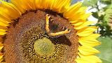Sunflower butterfly