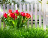 ☺ Pretty tulips...