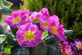Flores520