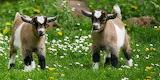 Pet Goats Animal
