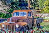 truck in the tulip garden