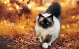 Siamese-cat-walking-in-autumn-