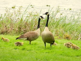 POTW baby animals geese Spring nature