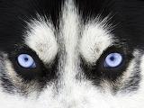 Blue eyes wolf dog hybrid