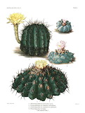 Lophophora-Brittoncand Rose-The Cactaceae