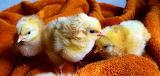 Itty bitty chicks