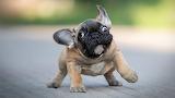 Small-french-bulldog-funny