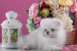 Dog, puppy, white, flowers, lantern, Spitz, basket