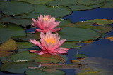 Pink water lilies and a feather
