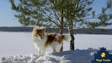 Collie dog going about his business by a tree near Lake Nokomis