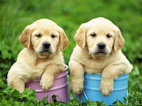 Puppies in pails
