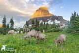 Bighorn Rams Bighorn Mountain Glacier Park