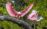Birds, pink, branch, trees, nature, beautiful, beauty, roseate s