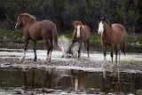 splashing-wild-horse-in-the-salt-river-dave-dilli